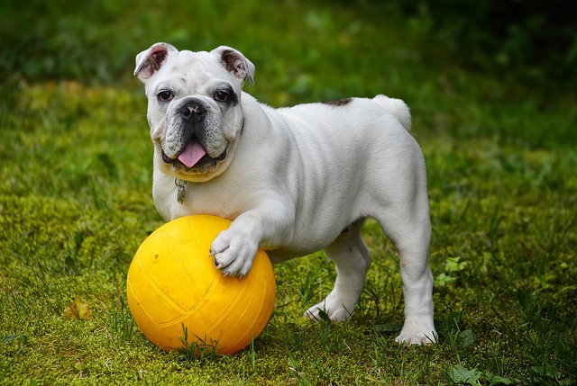 anglický buldok s míčem