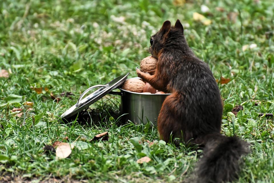 veverka s ořechy